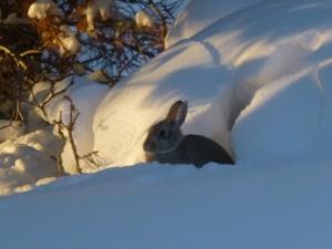 Rabbits InThe Snow Joel Roth